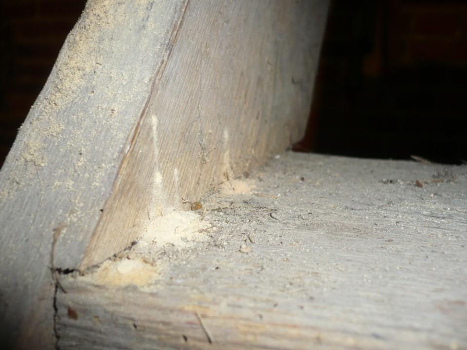 larves xylophages qui se nourrissent de bois