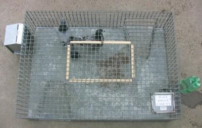 cage de capture pigeons