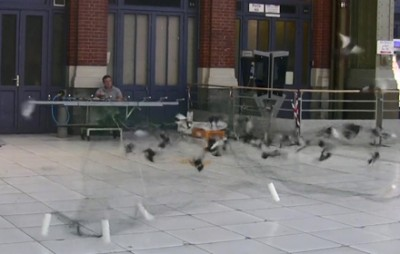 comment capture pigeons