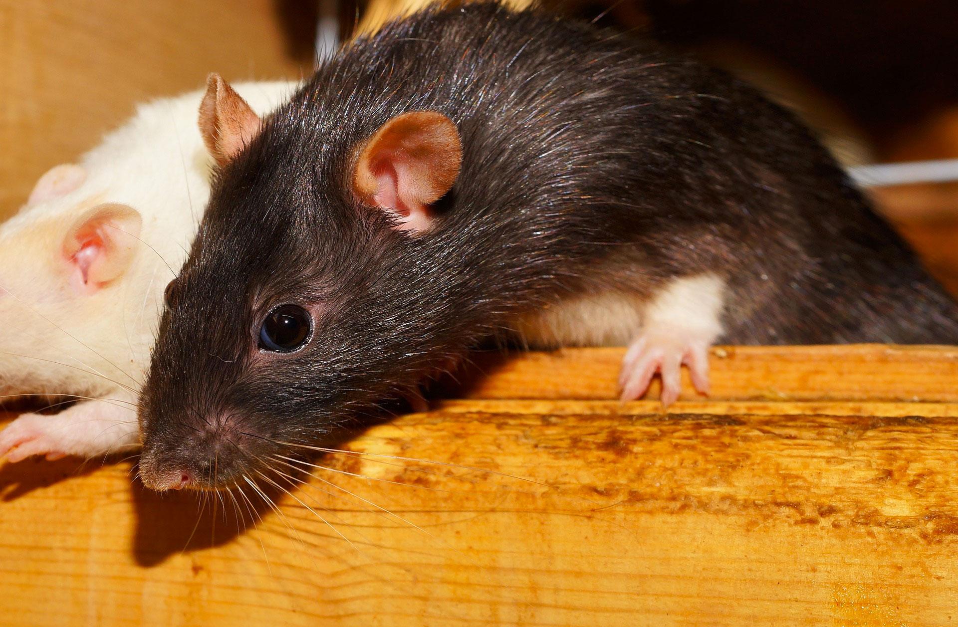 invasion de rats dans la maison