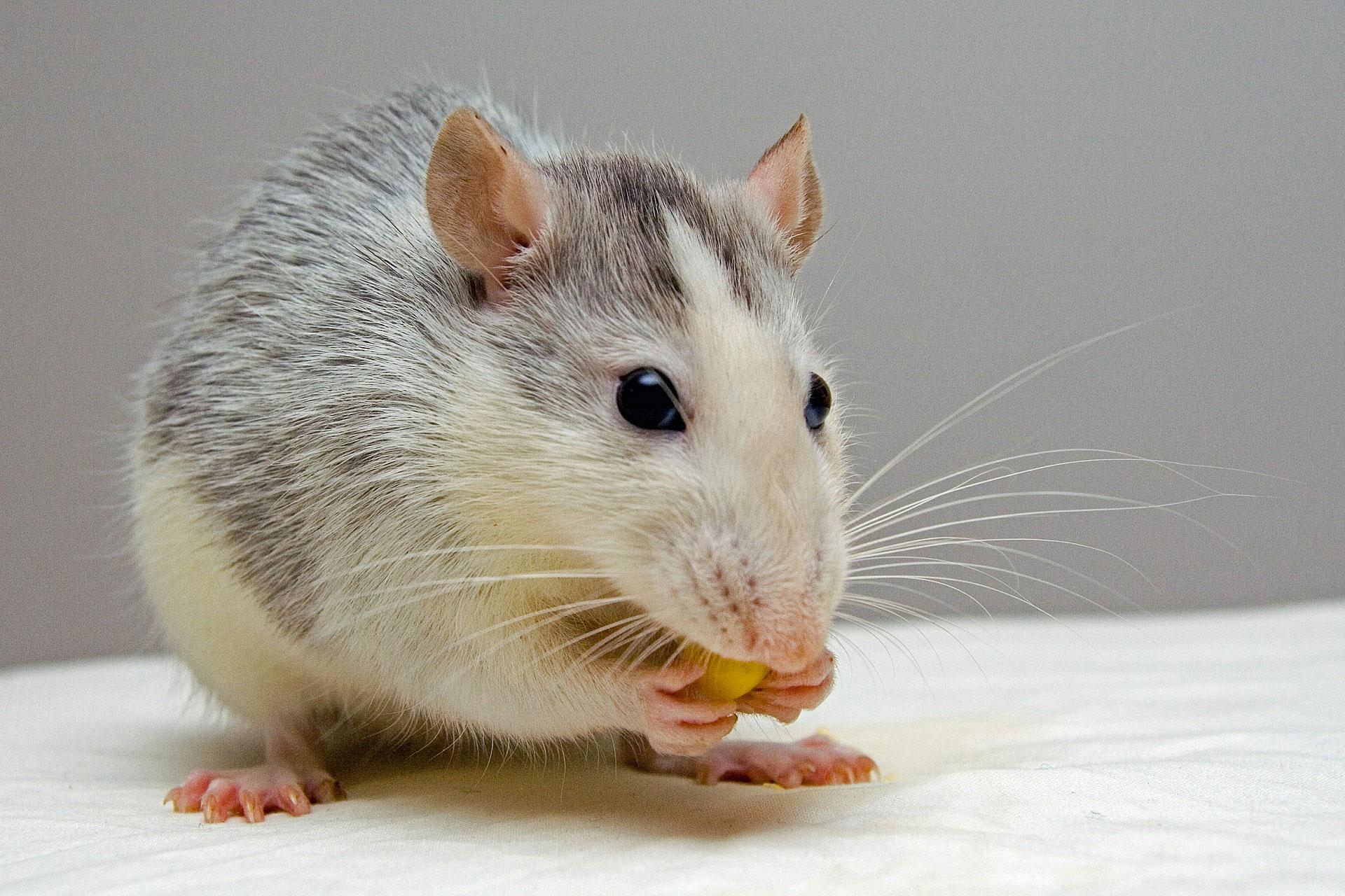 se debarrasser des rats